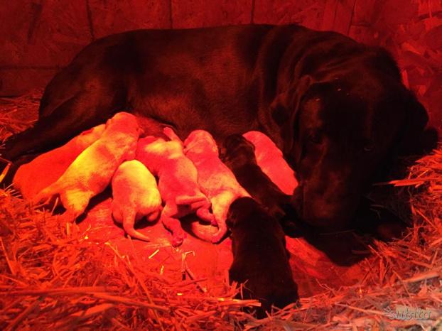 Cuccioli Labrador retriever con Pedigree 550