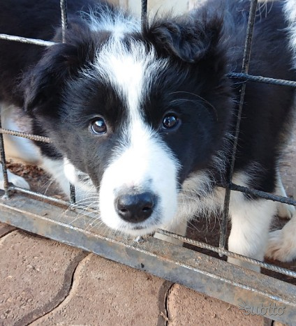 Cuccioli border collie pedigree alta genealogia