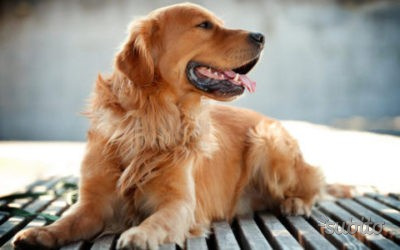 Cuccioli di Golden retriever con Pedigree Enci