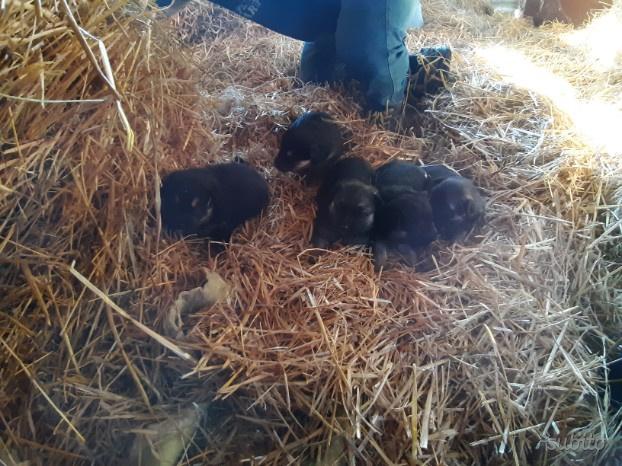 Cuccioli incrocio pastore tedesco e pastore belga
