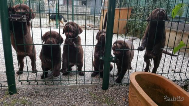 Cuccioli labrador chocolate pedigree enci roi