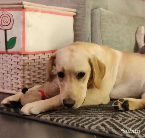 Cucciolo di Labrador miele femmina 6 mesi