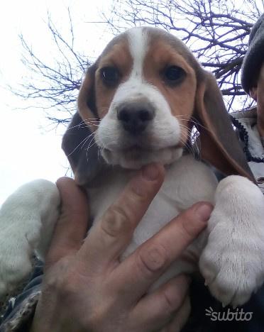 Cucciolo maschio di beagle tricolore