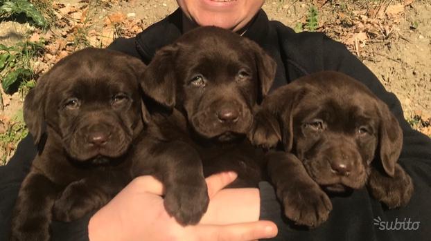 Labrador cioccolato cuccioli