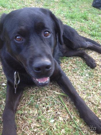 Labrador maschio di 10 anni per accoppiamento