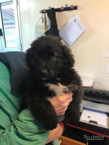 Poldo cucciolo cane maschio 3 mesi in adozione