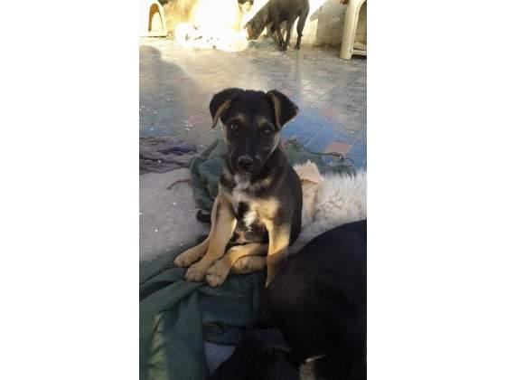 magnifico cucciolo simil pastore tedesco