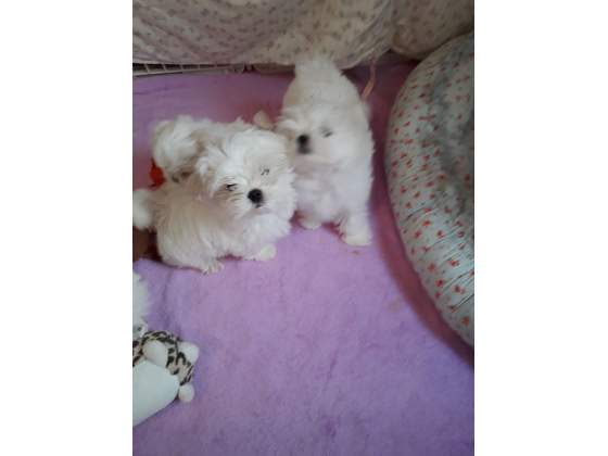Cuccioli di Maltese puri toy