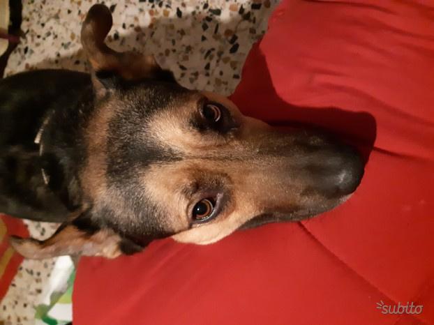 Cane maschio vaccinato e microchippato