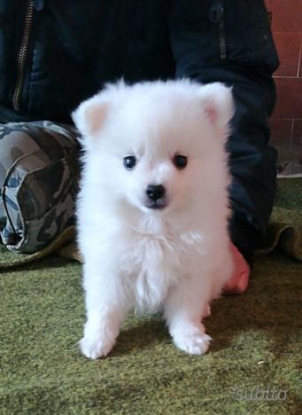 Cucciolo di cane spitz maschio bianco