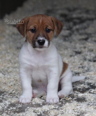 Disponibili cuccioli di jack russel