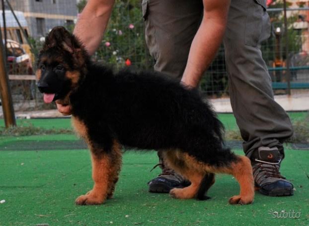 Pastore tedesco pelo lungo cuccioli