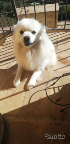 Regalo cane volpino di pomeranian di 3 anni