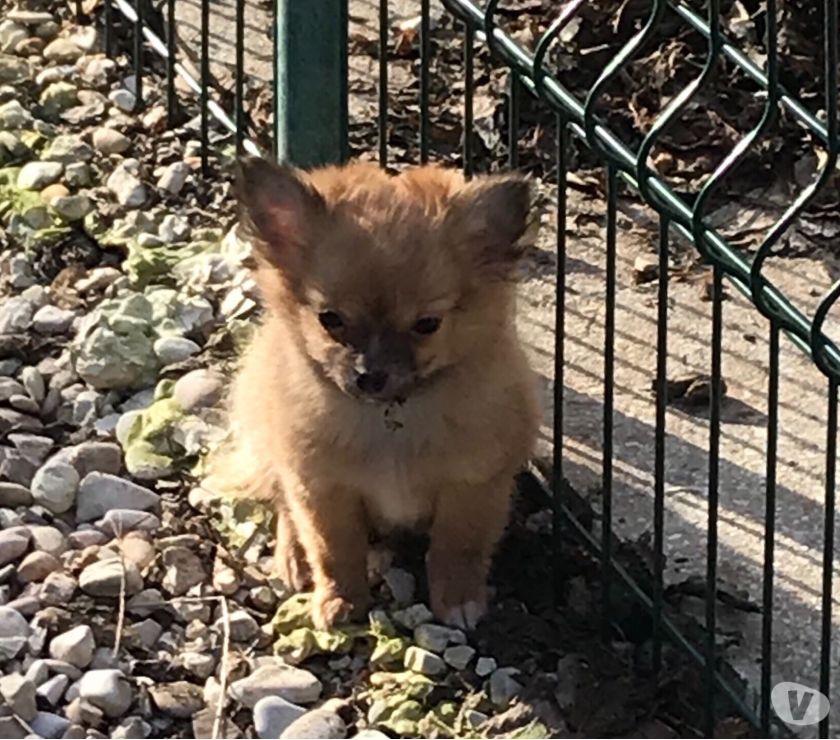 Chihuahua maschio a pelo lungo