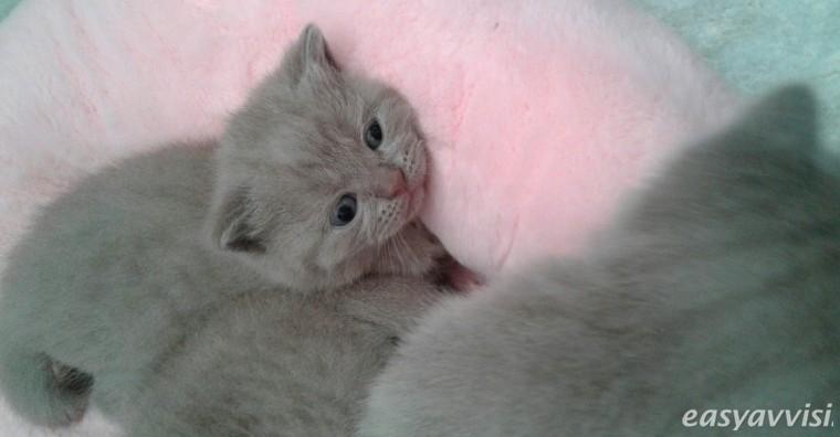 British shorthair kittens, citta metropolitana di roma