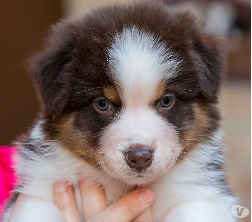 Cuccioli Australian Shepherd disponibili dal primo gennaio