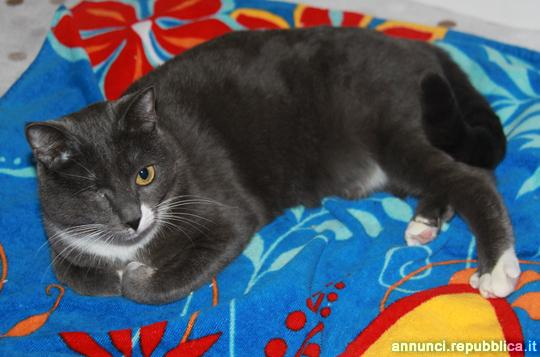 Perlina, gatta adulta 2,5 Gatto Padova