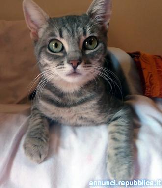 Stella, gatta adulta fiv positiva Gatto Padova