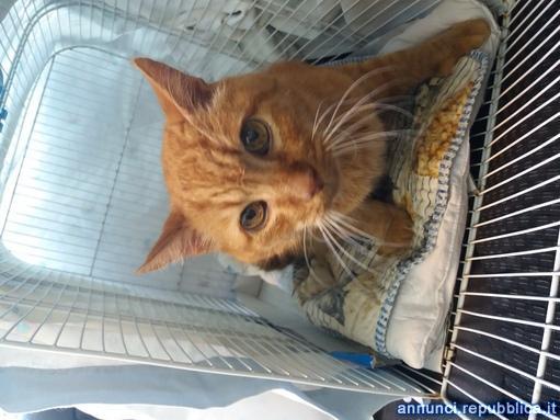 gatto rosso adulto fiv fev positivo Gatto Padova