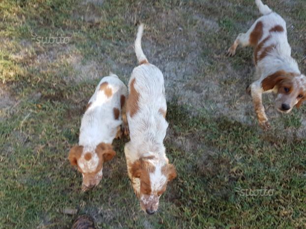 Cani SETTER INGLESE da caccia
