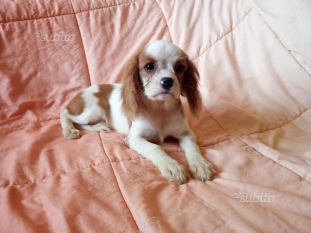 Cavalier King cuccioli con pedigree