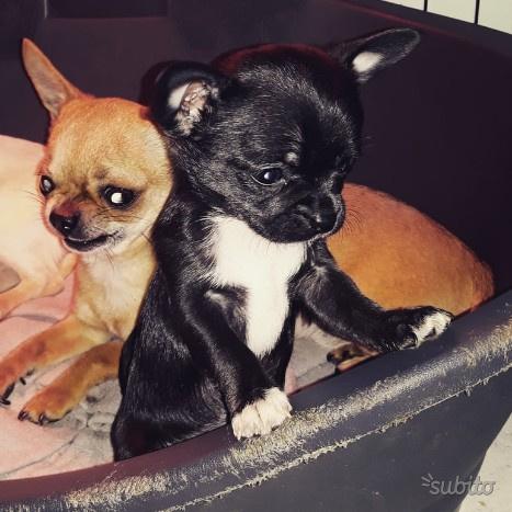 Chihuahua femminuccia nera con pedigree Enci