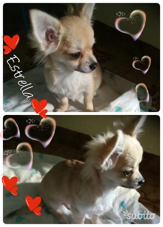 Cucciola Chihuahua pelo lungo con Pedigree