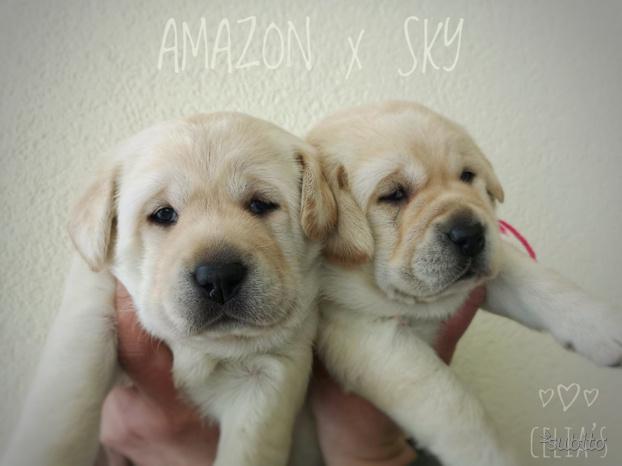 Cuccioli Labrador con pedigree ENCI