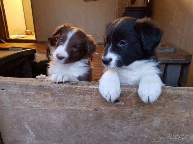 Cuccioli border collie con pedigree