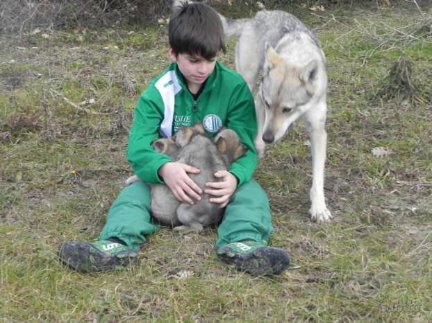 Cuccioli cane lupo cecoslovacco