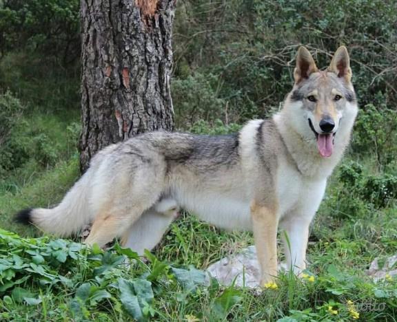 Cuccioli di cane lupo cecoslovacco pedigree enci