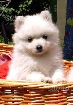 Cucciolo di spitz bianco maschio