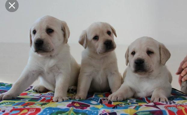 Disponibili cuccioli di labrador retriver