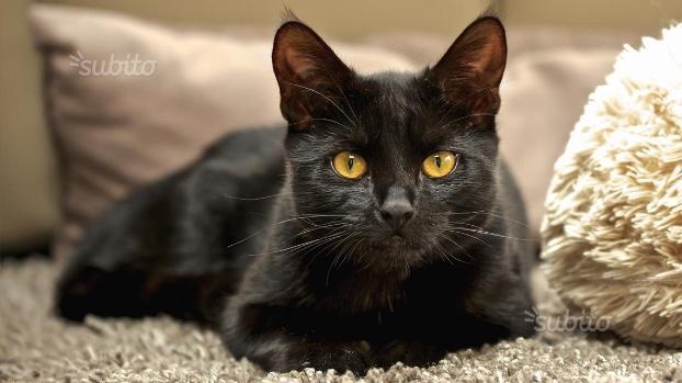 Gattina nera di