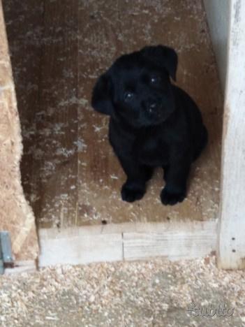 Labrador maschio nero 3 mesi