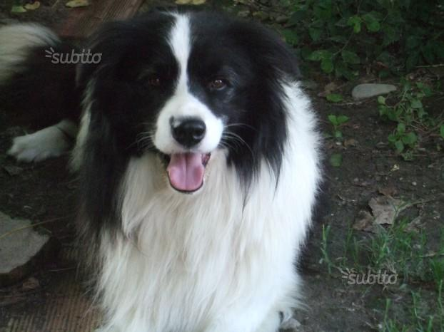 Ultimi cuccioli border collie con pedigree