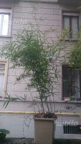 Pianta bambù con vaso