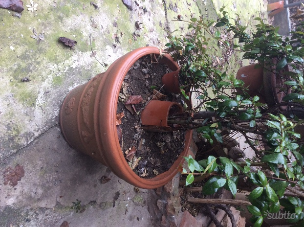 Piante palme palma da giardino in vaso posot class - Piante da vaso esterno ...