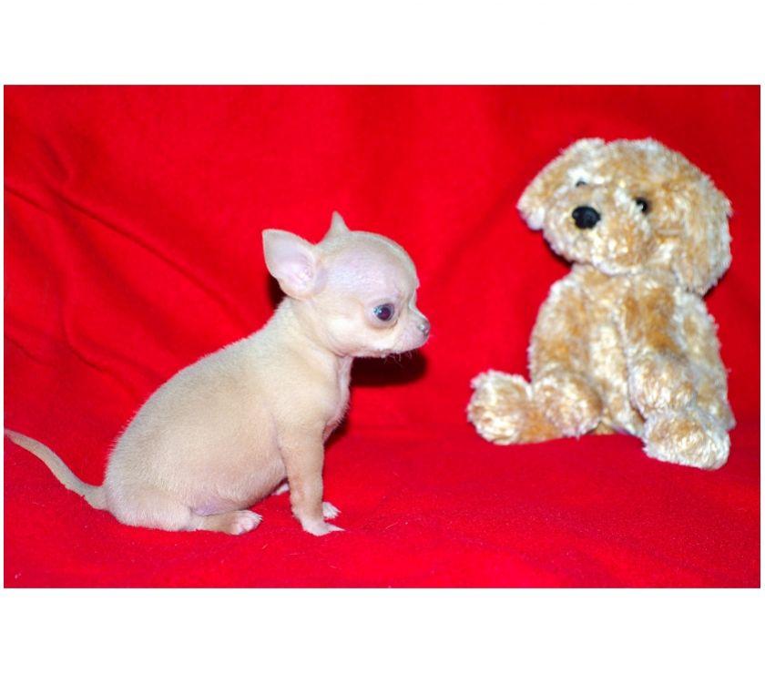 Chihuahua toy, cucciolo femmina con pedigree ROI