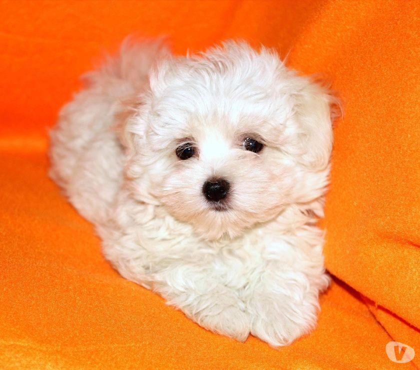 Maltese, cucciolo maschio di taglia toy
