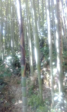 Pianta bambu gigate