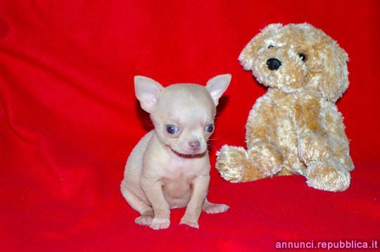 Chihuahua toy, cucciolo femmina con pedigree ROI Cane
