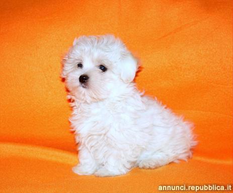 Maltese, cucciolo maschio di taglia toy Cane Maltese Milano