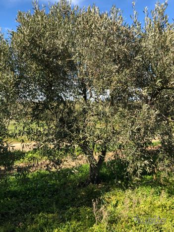 Piante d'olivo