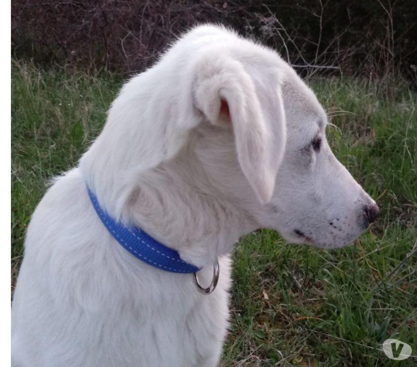 Cucciolo 5 mesi mix Labrador
