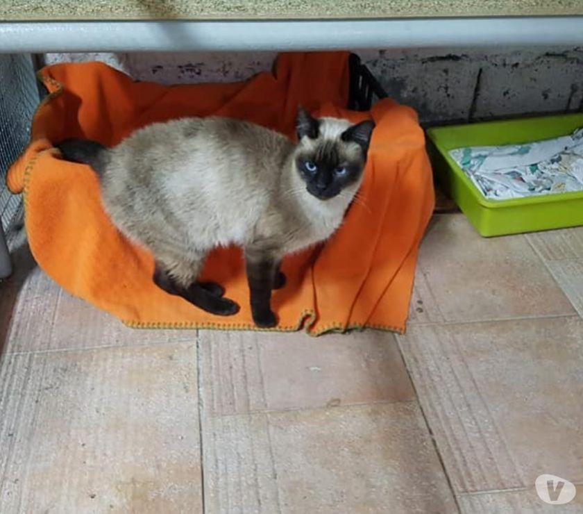 Matilde gattina mix siamese cerca casa