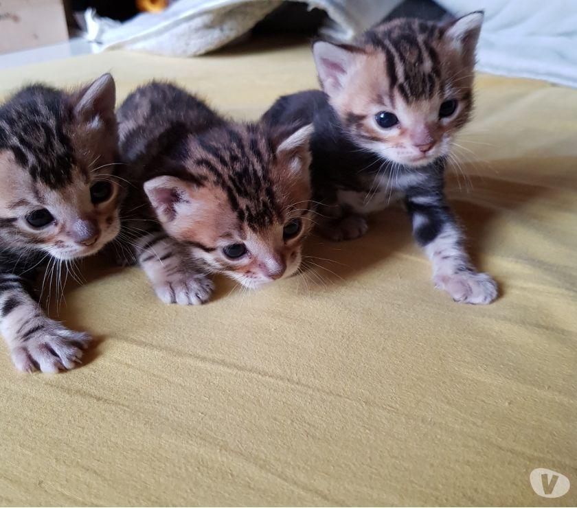 Vendo cuccioli Gatto Bengala
