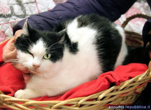 sofia, gatta adulta da adottare Gatto Padova