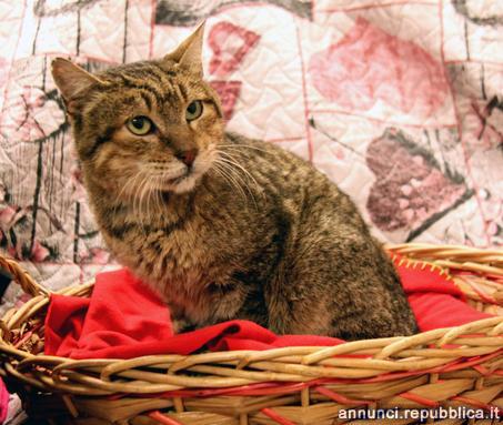 tigro gatto adulto anzianotto Gatto Padova