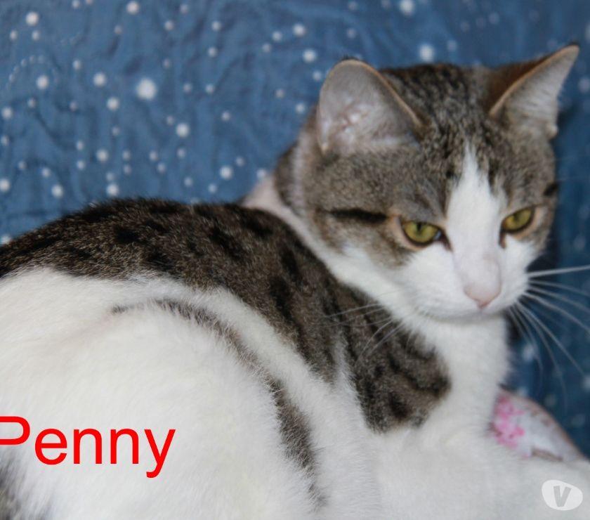 Penny gatta adulta giovane 1 anno